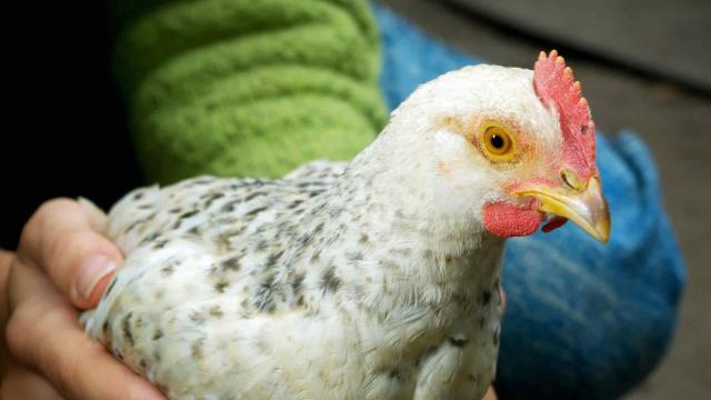 keeping chickens guide