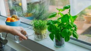 Growing veg on the windowsill